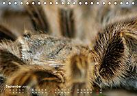 Vogelspinnen (Theraphosidae)CH-Version (Tischkalender 2019 DIN A5 quer) - Produktdetailbild 9