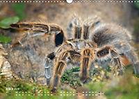 Vogelspinnen (Theraphosidae)CH-Version (Wandkalender 2019 DIN A3 quer) - Produktdetailbild 3