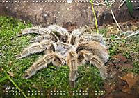 Vogelspinnen (Theraphosidae)CH-Version (Wandkalender 2019 DIN A3 quer) - Produktdetailbild 7