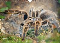 Vogelspinnen (Theraphosidae)CH-Version (Wandkalender 2019 DIN A4 quer) - Produktdetailbild 3