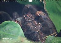 Vogelspinnen (Theraphosidae)CH-Version (Wandkalender 2019 DIN A4 quer) - Produktdetailbild 12