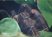Vogelspinnen (Theraphosidae)CH-Version (Wandkalender 2019 DIN A2 quer) - Produktdetailbild 12