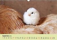 Vom Ei zum Huhn. Die Entwicklung von Küken (Wandkalender 2019 DIN A3 quer) - Produktdetailbild 9