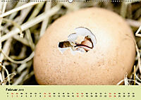 Vom Ei zum Huhn. Die Entwicklung von Küken (Wandkalender 2019 DIN A2 quer) - Produktdetailbild 2