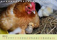 Vom Ei zum Huhn. Die Entwicklung von Küken (Tischkalender 2019 DIN A5 quer) - Produktdetailbild 6