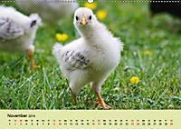 Vom Ei zum Huhn. Die Entwicklung von Küken (Wandkalender 2019 DIN A2 quer) - Produktdetailbild 11