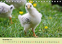 Vom Ei zum Huhn. Die Entwicklung von Küken (Tischkalender 2019 DIN A5 quer) - Produktdetailbild 11