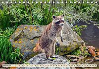 Waschbär - Niedlicher Allesfresser (Tischkalender 2019 DIN A5 quer) - Produktdetailbild 1