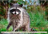 Waschbär - Niedlicher Allesfresser (Wandkalender 2019 DIN A3 quer) - Produktdetailbild 6