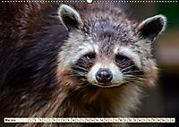 Waschbär - Niedlicher Allesfresser (Wandkalender 2019 DIN A2 quer) - Produktdetailbild 5