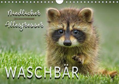 Waschbär - Niedlicher Allesfresser (Wandkalender 2019 DIN A4 quer), Peter Roder