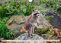 Waschbär - Niedlicher Allesfresser (Wandkalender 2019 DIN A4 quer) - Produktdetailbild 1