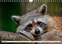 Waschbär - Niedlicher Allesfresser (Wandkalender 2019 DIN A4 quer) - Produktdetailbild 2