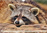 Waschbär - Niedlicher Allesfresser (Wandkalender 2019 DIN A4 quer) - Produktdetailbild 7