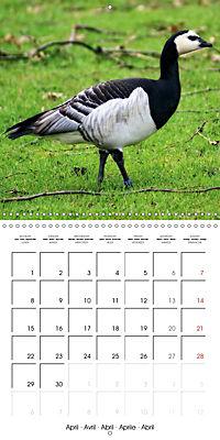 Waterfowl Birds and Water (Wall Calendar 2019 300 × 300 mm Square) - Produktdetailbild 4