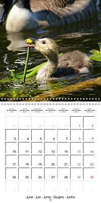 Waterfowl Birds and Water (Wall Calendar 2019 300 × 300 mm Square) - Produktdetailbild 6