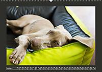 Weimaraner - Ein Welpenjahr (Wandkalender 2019 DIN A2 quer) - Produktdetailbild 4