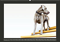 Weimaraner - Ein Welpenjahr (Wandkalender 2019 DIN A2 quer) - Produktdetailbild 11
