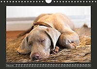 Weimaraner - Ein Welpenjahr (Wandkalender 2019 DIN A4 quer) - Produktdetailbild 2