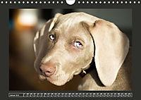 Weimaraner - Ein Welpenjahr (Wandkalender 2019 DIN A4 quer) - Produktdetailbild 1