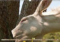 Weiße Esel - Märchenhafte Langohren (Wandkalender 2019 DIN A3 quer) - Produktdetailbild 9
