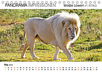 Weiße Löwen in Afrika PANORAMA IMPRESSIONEN (Tischkalender 2019 DIN A5 quer) - Produktdetailbild 5