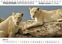 Weiße Löwen in Afrika PANORAMA IMPRESSIONEN (Tischkalender 2019 DIN A5 quer) - Produktdetailbild 6