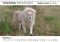 Weiße Löwen in Afrika PANORAMA IMPRESSIONEN (Tischkalender 2019 DIN A5 quer) - Produktdetailbild 12