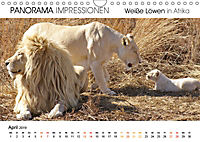 Weiße Löwen in Afrika PANORAMA IMPRESSIONEN (Wandkalender 2019 DIN A4 quer) - Produktdetailbild 4