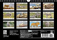 Weiße Löwen in Afrika PANORAMA IMPRESSIONEN (Wandkalender 2019 DIN A4 quer) - Produktdetailbild 13