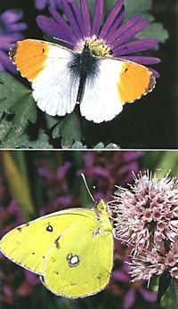 Welcher Schmetterling ist das? - Produktdetailbild 5