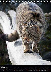 Wildkatzen - scheue Jäger (Tischkalender 2019 DIN A5 hoch) - Produktdetailbild 3