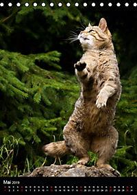 Wildkatzen - scheue Jäger (Tischkalender 2019 DIN A5 hoch) - Produktdetailbild 5