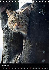Wildkatzen - scheue Jäger (Tischkalender 2019 DIN A5 hoch) - Produktdetailbild 1