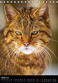 Wildkatzen - scheue Jäger (Tischkalender 2019 DIN A5 hoch) - Produktdetailbild 4