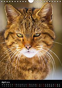 Wildkatzen - scheue Jäger (Wandkalender 2019 DIN A4 hoch) - Produktdetailbild 4