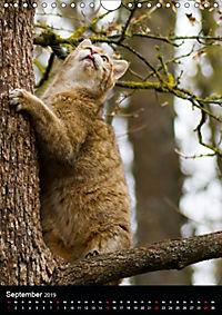 Wildkatzen - scheue Jäger (Wandkalender 2019 DIN A4 hoch) - Produktdetailbild 9