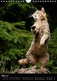 Wildkatzen - scheue Jäger (Wandkalender 2019 DIN A4 hoch) - Produktdetailbild 5