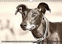 Windhunde eye-catcher (Wandkalender 2019 DIN A4 quer) - Produktdetailbild 7