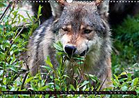 Wölfe, Füchse und Kojoten (Wandkalender 2019 DIN A3 quer) - Produktdetailbild 6