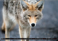 Wölfe, Füchse und Kojoten (Wandkalender 2019 DIN A3 quer) - Produktdetailbild 3