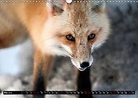 Wölfe, Füchse und Kojoten (Wandkalender 2019 DIN A3 quer) - Produktdetailbild 5