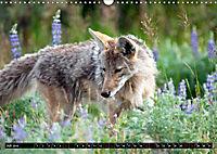 Wölfe, Füchse und Kojoten (Wandkalender 2019 DIN A3 quer) - Produktdetailbild 7