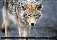 Wölfe, Füchse und Kojoten (Wandkalender 2019 DIN A4 quer) - Produktdetailbild 3