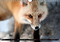 Wölfe, Füchse und Kojoten (Wandkalender 2019 DIN A4 quer) - Produktdetailbild 5