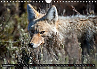 Wölfe, Füchse und Kojoten (Wandkalender 2019 DIN A4 quer) - Produktdetailbild 9