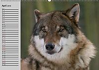 Wölfe. Verwegene Anmut (Wandkalender 2019 DIN A2 quer) - Produktdetailbild 4