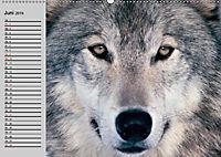 Wölfe. Verwegene Anmut (Wandkalender 2019 DIN A2 quer) - Produktdetailbild 6