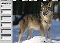 Wölfe. Verwegene Anmut (Wandkalender 2019 DIN A2 quer) - Produktdetailbild 9