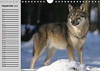 Wölfe. Verwegene Anmut (Wandkalender 2019 DIN A4 quer) - Produktdetailbild 9